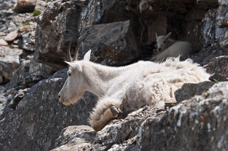 A mother mountain goat rests on a rock ledge with her young kid in Logan Pass, Glacier National Park, Montana.