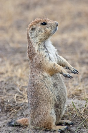 A prairie dog stands up on the look out in Montana.
