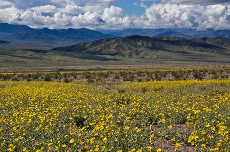 The mountains of Death Valley National Park covered in yellow wildflowers. photo
