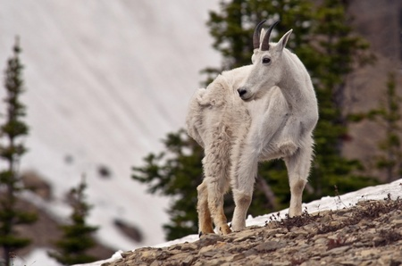 A billy mountain goat in Logan Pass, Glacier National Park, Montana. photo