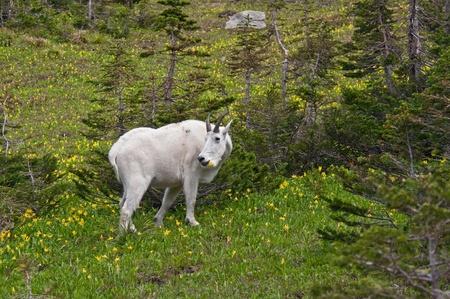 Una cabra montés de billy se alimenta en el glaciar de verde y amarillo lillies en Logan Pass, el Parque Nacional Glacier, Montana.
