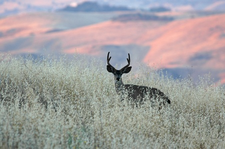 wild oats: A black tailed deer eating wild oats with the warm setting sun behind.
