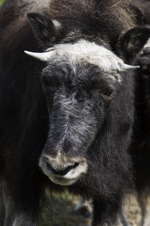 musk: A portrait of a juvenile Musk Ox. Stock Photo