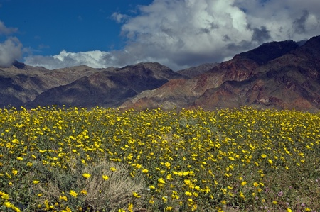 The mountains of Death Valley National Park covered in yellow wildflowers. Stock Photo - 9091547