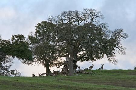odocoileus: A bachelor group of ten black tailed deer (Odocoileus hemionus) gather under an oak tree on a Central Coast California hillside.