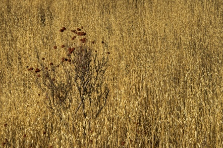 The golden wild oats cover the California hills.