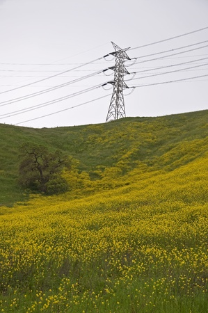 A yellow mustard field and oak tree under an electical power transmission tower  Stock Photo