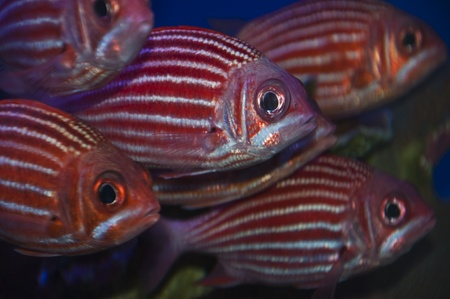 A school of Hawaiian red and white striped squirrelfish. photo