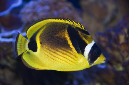 A portrait of a racoon butterflyfish in front of a coral reef.