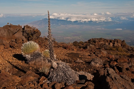 The endangered Silversword high on Haleakala overlooking the central valley and West Maui mountains, Hawaii. Stock Photo