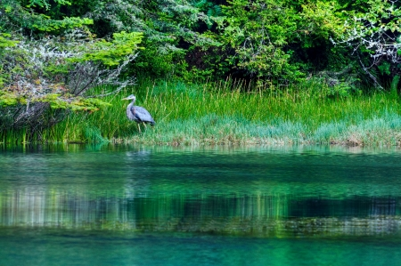 A Great Blue Heron stalks its prey in the Albion River, Albion, California.