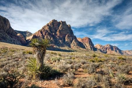 A joshua tree in the desert below Mount Wilson in Red Rock Canyon outside Las Vegas, Nevada.