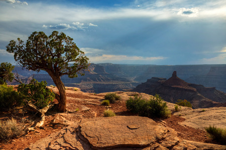 A juniper shares a view of Canyonlands National Park from Dead Horse Point State Park, Utah