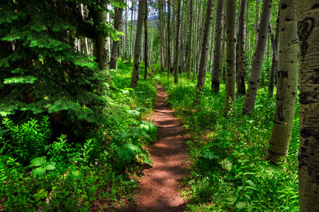 Beaver ponds trail leads through an aspen grove, Colorado