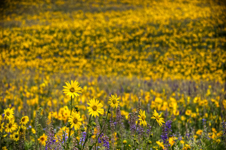 Sunflowers and silvery lupines cover the side of Mount Crested Butte, Colorado  Stock Photo