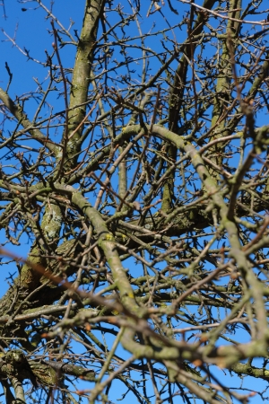 bronchial: The bound branches of a tree against very blue sky, remind bronchial tubes of a human body.