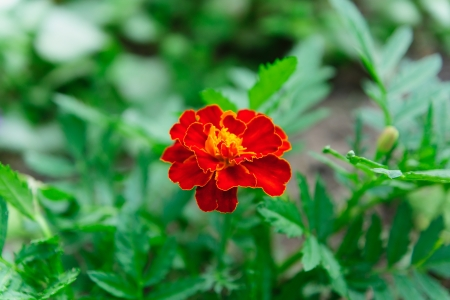one orange marigold flower against green leaves photo