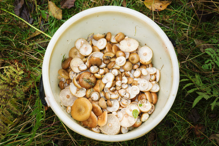 the big bucket is filled with fresh mushrooms found in the wood photo