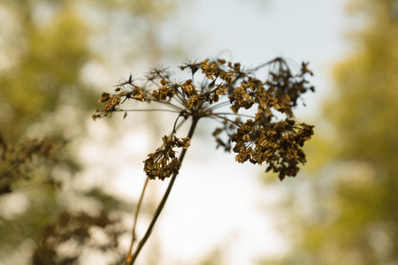 withering: the withering plant reaches for the sun against the autumn sky