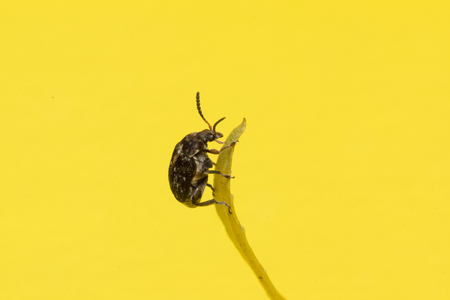 scavenging: the moustached black bug sits on a yellow leaf