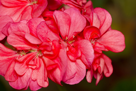 lobes: red flower with gentle lobes against a dark background