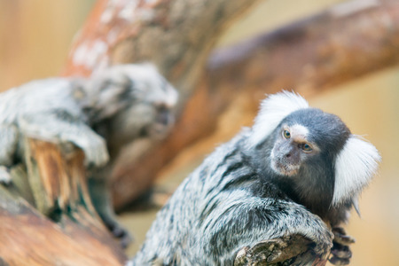 pigmy: the little tamarin from family of monkeys sits on a branch