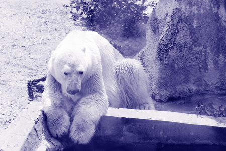 ate: the polar bear well ate and now has a rest near the pool Stock Photo