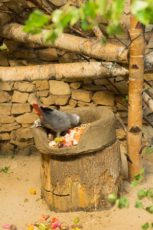 eating fruits: the parrot eats from the feeding trough located on a pack
