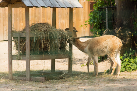 trough: animals eat hay from a feeding trough Stock Photo