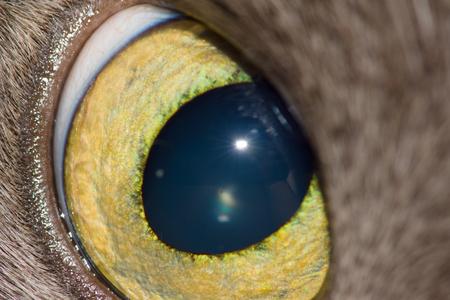 ojos verdes: ampliamente ojo de gato abierta es fotografiada por un primer plano