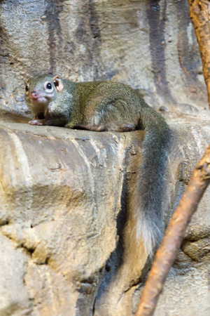 chinchilla: the chinchilla with a fluffy tail sat down on stones