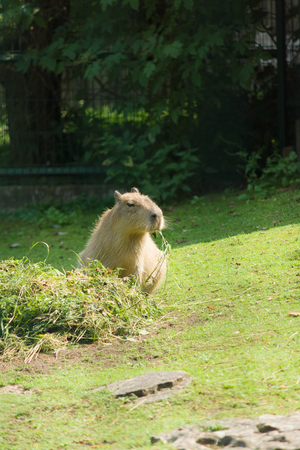 eats: the large water otter eats hay in park Stock Photo