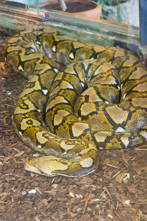 constrict: the long spotty boa hid waiting for the victim