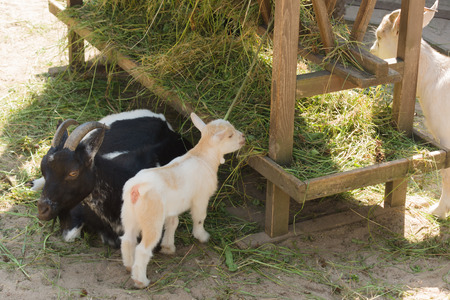smiling goat: the goat family lives on a farm and eats hay