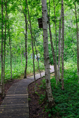 birchwood: the long bent wooden footpath lies through a birchwood Stock Photo