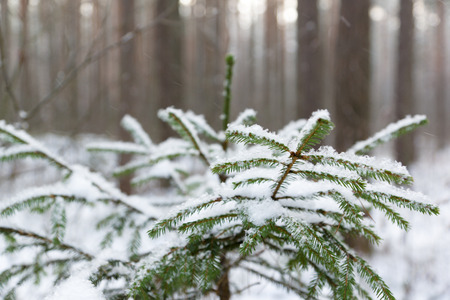 jungle scene: Trees covered with white fluffy snow in the winter forest