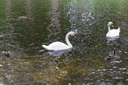 posterity: white swans with the posterity float on a pond Stock Photo