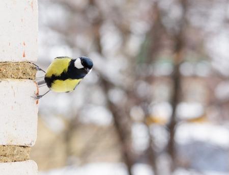 tit bird: tit bird sitting on the brick wall winter Stock Photo