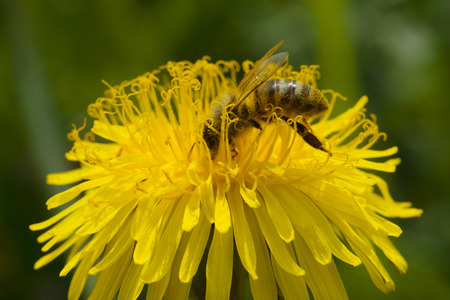 pollination: bee on dandelion engaged in pollination of plants
