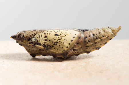 chrysalis: butterfly chrysalis from which soon hatches the adult