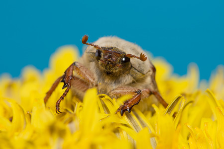 climbed: huge chafer climbed into the yellow flower on sky