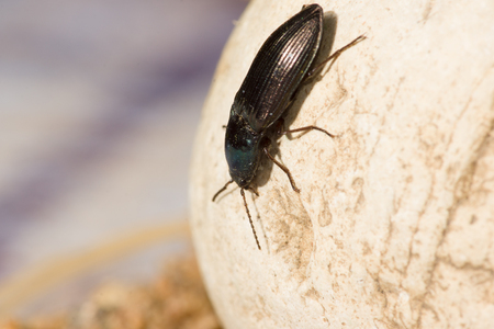 chitin: big black beetle with a mustache crawling over rocks and sand