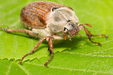 climbed: huge chafer climbed on green leaves and takes them