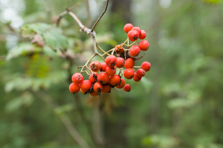Red rowan berries hang on the branches of beams Stock Photo