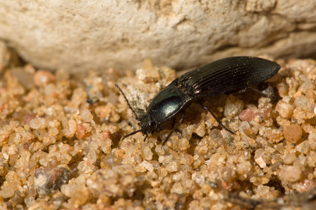 big black beetle with a mustache crawling over rocks and sand
