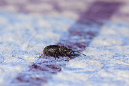 chitin: small black beetle crawling on the tablecloth lying on the table