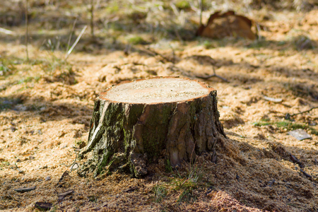 was: The stump was left from a recently felled tree in the forest Stock Photo
