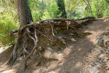 Crooked roots of trees are knocked out from under the ground