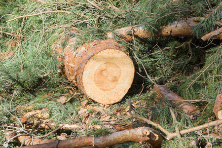 felled: Stumps from felled trees in a pine forest Stock Photo