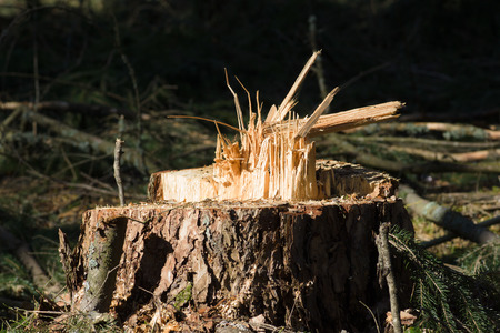 sawn: Stumps from felled trees in a pine forest Stock Photo